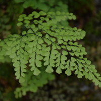 Frauenfarngewächse - Athyriaceae