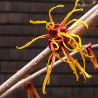 Zaubernussgewächse - Hamamelidaceae