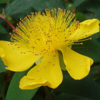 Johanniskrautgewächse - Hypericaceae