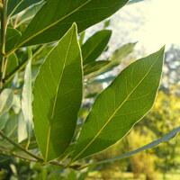 Lorbeergewächse - Lauraceae