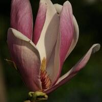 Magnoliengewächse - Magnoliaceae