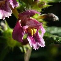 Lippenblütler - Lamiaceae