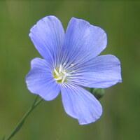 Leingewächse - Linaceae