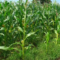 landwirtschaftliche Kulturpflanze