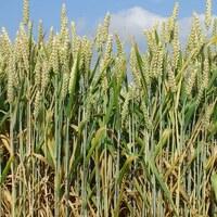 Getreidepflanze