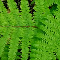 Sporenpflanze