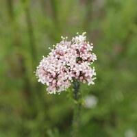 Baldriangewächse - Valerianaceae