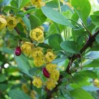Berberitzengewächse - Berberidaceae