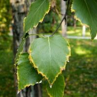 Birkengewächse - Betulaceae