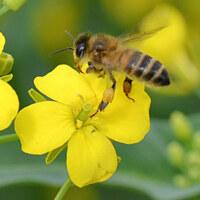 Kreuzblütler - Brassicaceae