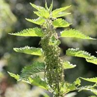Brennesselgewächse - Urticaceae