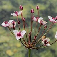 Wasserlieschgewächse - Butomaceae