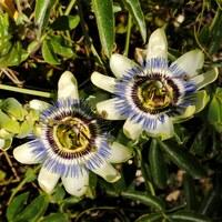 Passionsblumengewächse - Passifloraceae