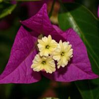 Wunderblumengewächse - Nyctaginaceae