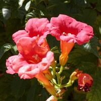 Trompetenbaumgewächse - Bignoniaceae