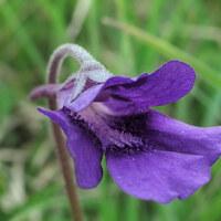 Wasserschlauchgewächse - Lentibulariaceae