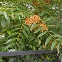 Bittereschengewächse - Simaroubaceae