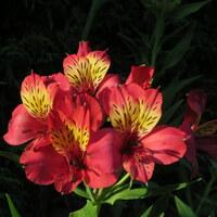 Inkaliliengewächse - Alstroemeriaceae