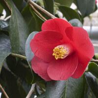 Teestrauchgewächse - Theaceae