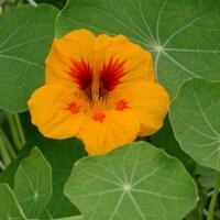 Kapuzinerkressengewächse - Tropaeolaceae