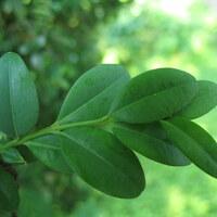 Buchsbaumgewächse - Buxaceae