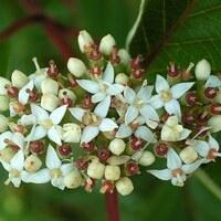 Hartriegelgewächse - Cornaceae
