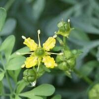Rautengewächse - Rutaceae