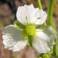 Froschlöffelgewächse - Alismataceae