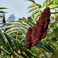 Sumachgewächse - Anacarciaceae