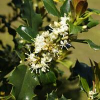 Stechpalmengewächse - Aquifoliaceae