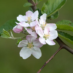 Garten-Apfel