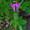 Archäophyt