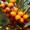 Beerenpflanze