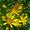 Bienenblume