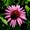 Immunsystem stärkende Pflanze