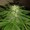 Rauschpflanze