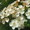 Heckenpflanze