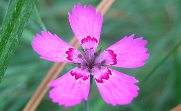 <b>Heide-Nelke - <i>Dianthus deltoides</i></b>