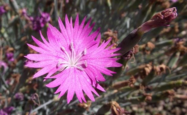 <b>Pfingst-Nelke - <i>Dianthus gratianopolitanus</i></b>