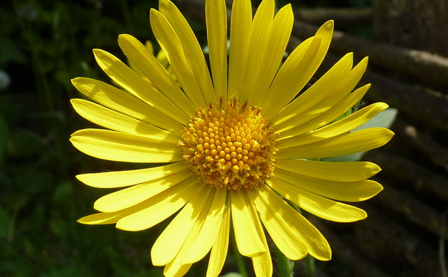 <b>Kriechende Gemswurz - <i>Doronicum pardalianches</i></b>
