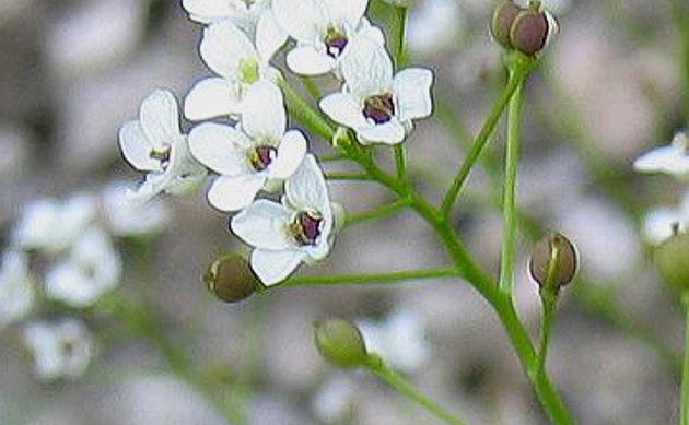 <b>Filziges Felsenblümchen - <i>Draba tomentosa</i></b>
