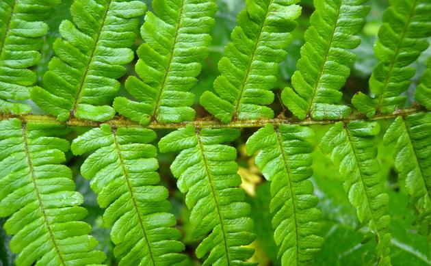 <b>Spreuschuppiger Wurmfarn - <i>Dryopteris affinis</i></b>