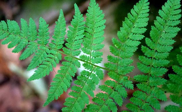 <b>Gewöhnlicher Dornfarn - <i>Dryopteris carthusiana</i></b>