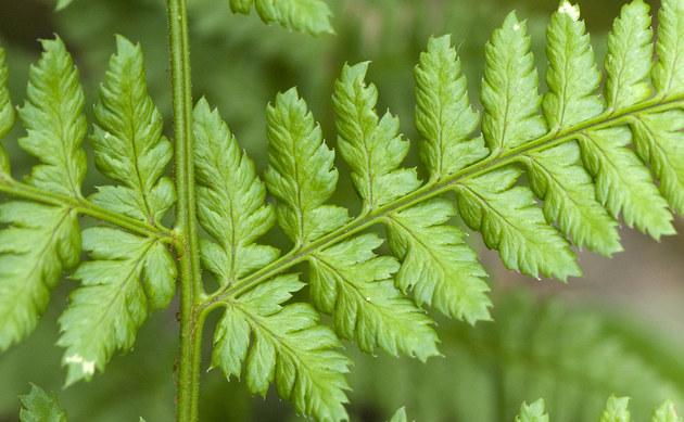 <b>Breitblättriger Dornfarn - <i>Dryopteris dilatata</i></b>