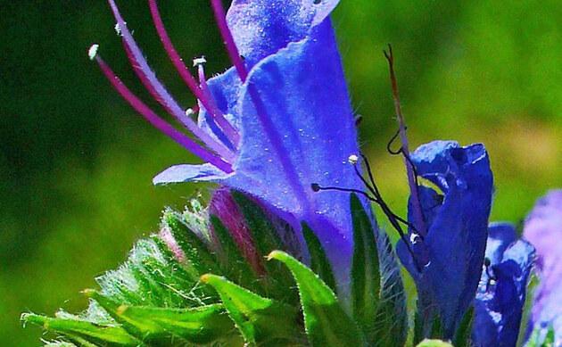 <b>Gewöhnlicher Natternkopf - <i>Echium vulgare</i></b>