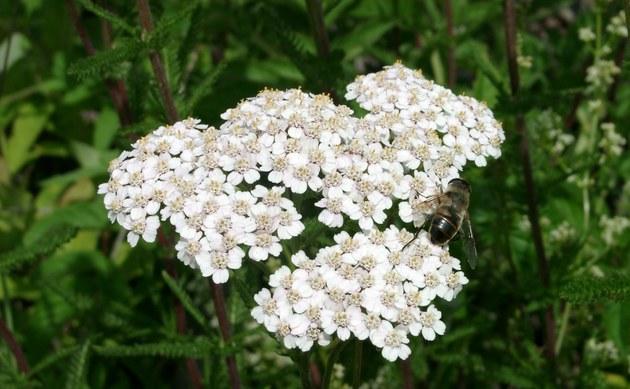 <b>Gewöhnliche Wiesen-Schafgarbe - <i>Achillea millefolium</i></b>