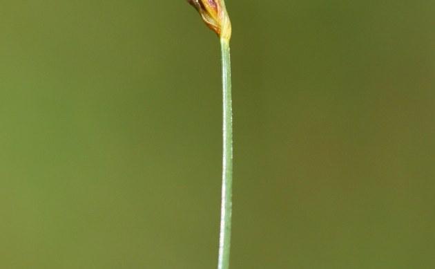 <b>Armblütige Sumpfbinse - <i>Eleocharis quinqueflora</i></b>