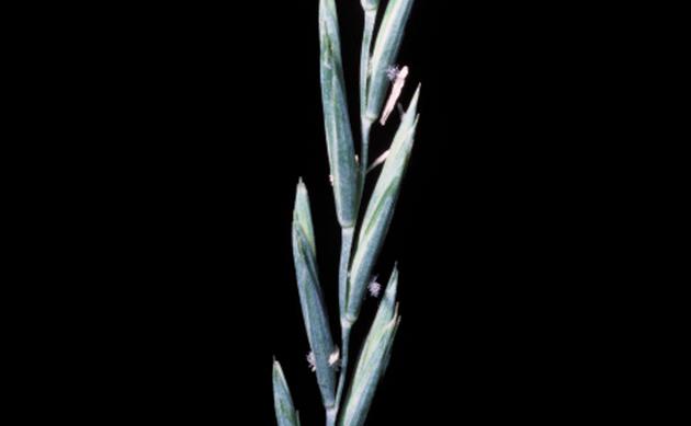 <b>Quecke - <i>Elymus repens</i></b>