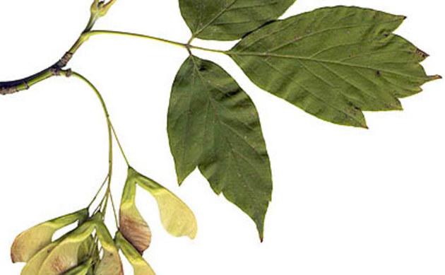 <b>Eschen-Ahorn - <i>Acer negundo</i></b>