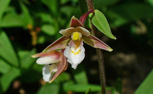<b>Sumpf-Stendelwurz - <i>Epipactis palustris</i></b>